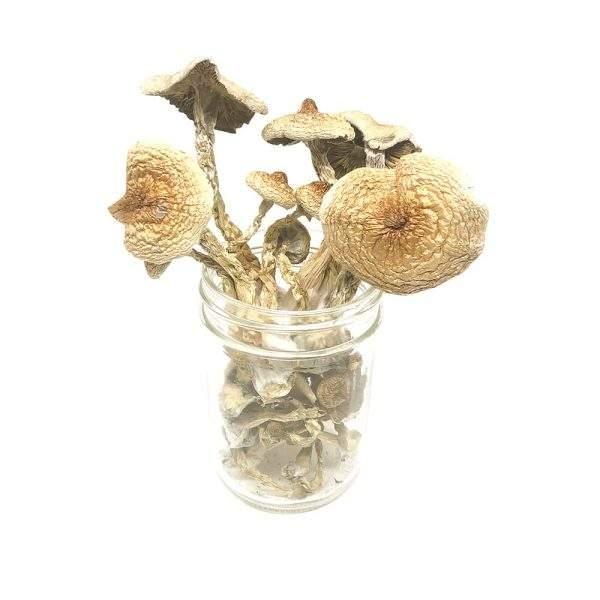 Nupepshrooms, Bulk,B+,Cubensis,Mushrooms