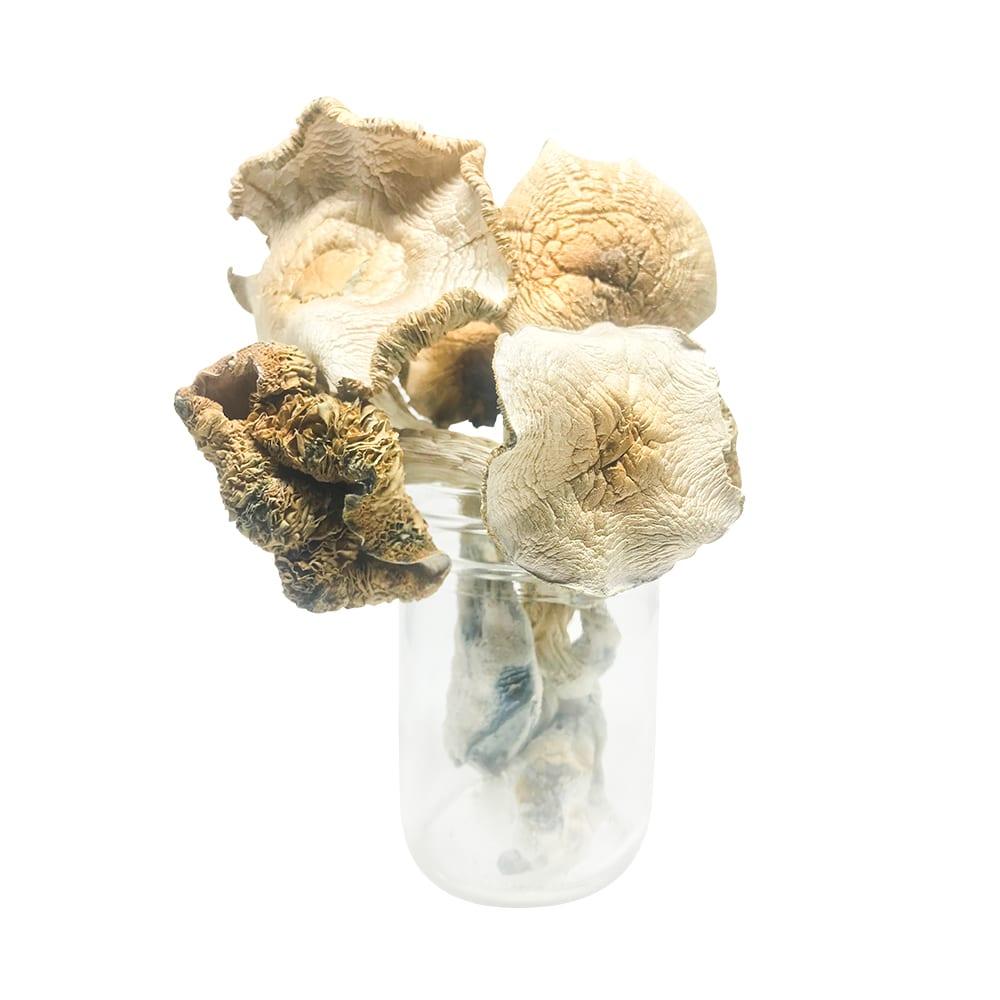 Nupepshrooms,Psilocybe,Cubensis,Golden Teacher AAAA+,Mushrooms